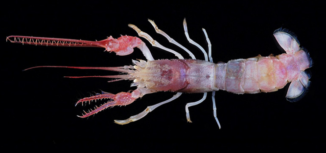 The terrible claw lobster is one of the strangest sea animals on the planet.