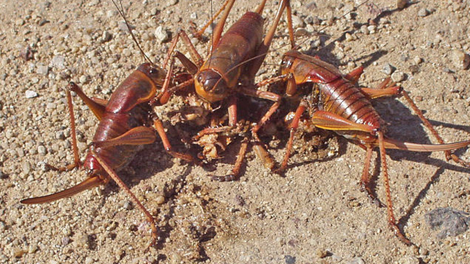The Mormon Crickets show horrific insect behaviour