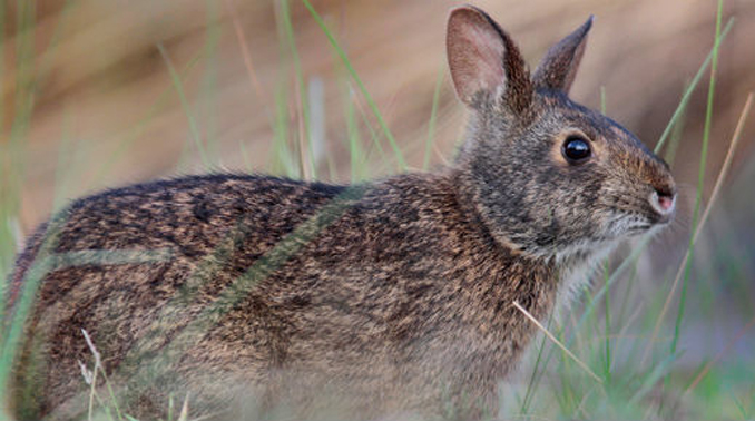 The Lower Keys marsh rabbit or Sylvilagus palustris hefneri.