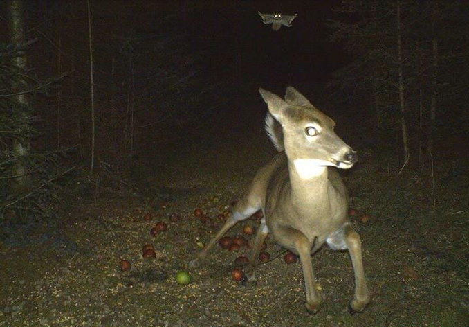 Flying squirrel chasing a deer - 10 Trail Camera Photos That Cannot Be Explained