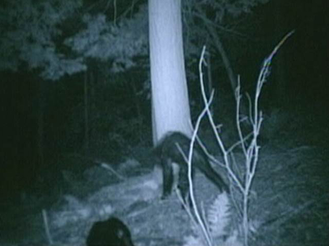 Juvenile Sasquatch caught on trail camera - 10 Trail Camera Photos That Cannot Be Explained