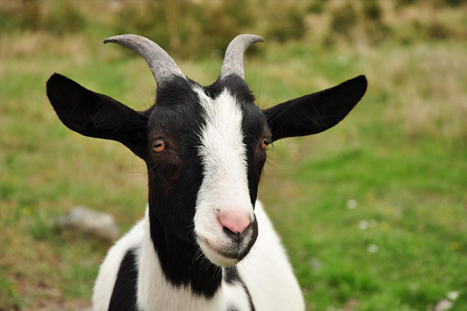 Shapeshifting goat arrested for attempting to steal a car - Mysterious Shapeshifters Caught Changing on Camera