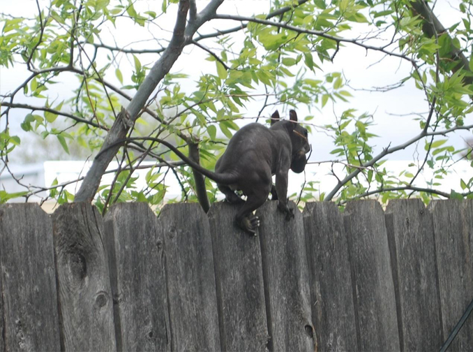 2013, Jersey Devil Sighting, walking on fence