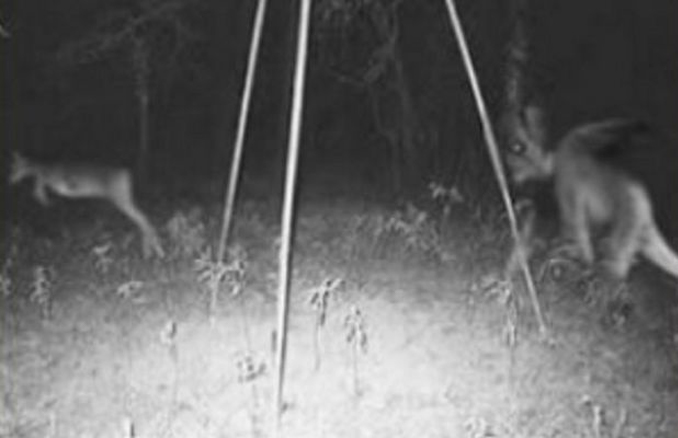 Trail camera photo of Jersey Devil chasing deer