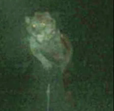 Famous Michigan Dogman photo. Could it be a real cryptid encounter?