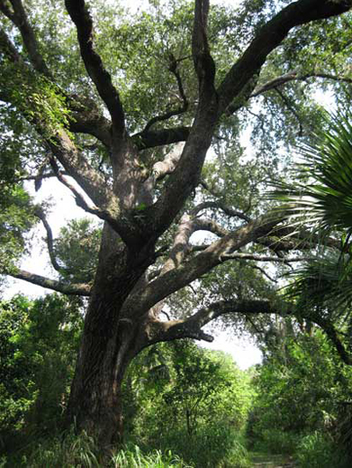 The Devil's Tree Port Saint Lucie, Florida, one of many supernatural cases that can't be explained